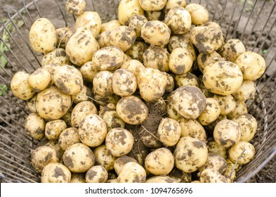 A pile of young potatoes with the earth in the basket. Collecting and peeling of young potatoes, harvest of potatoes in the fields. Growing of limited vegetables and fruits, agro-industry