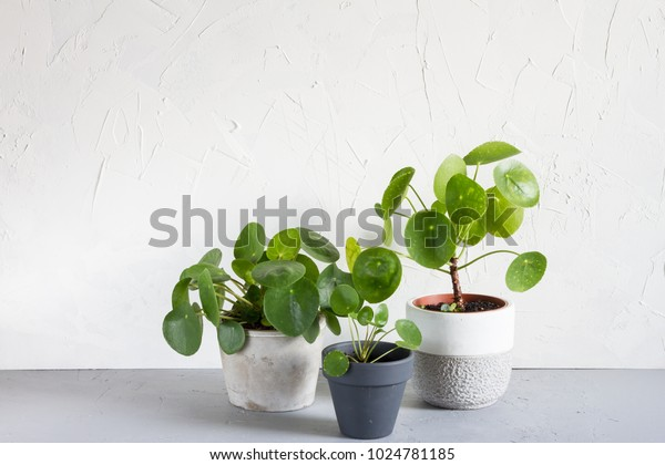 Pilea peperomioides and monstera in the pot. Single plant, concrete background.