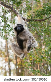 Pileated Gibbon or Capped Gibbon