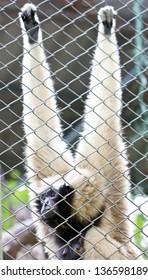 Pileated gibbon female through the baluster. (Scientific name : Hylobates pileatus)