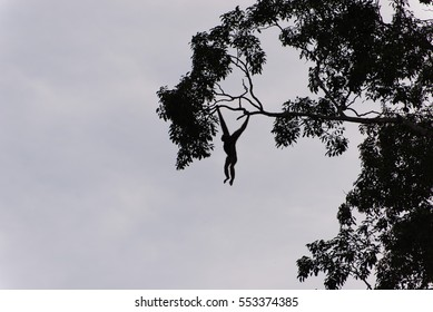 Pileated gibbon monkey hanging from a tree in silhouette at Khao Yai National Park, Thailand