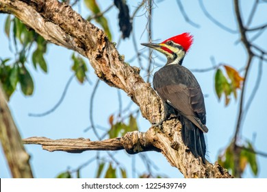 Pileated Woodpecker (Dryocopus pileatus), largest of the North American woodpeckers, perches in a central Florida tree.