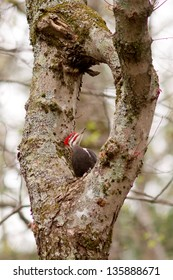 Pileated Woodpecker (Dryocopus pileatus) standing in and looking at a natural hole in a tree