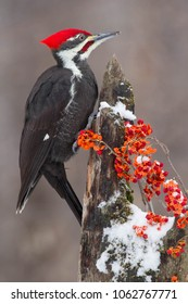 Pileated woodpecker, hylatomus pileatus, taken in Minnesota, in wild, Agnieszka Bacal.