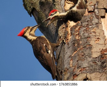 Pileated Woodpecker nest.  Mother and son.