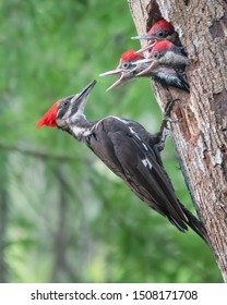 Pileated Woodpecker parent set to feed its three hungry chicks.