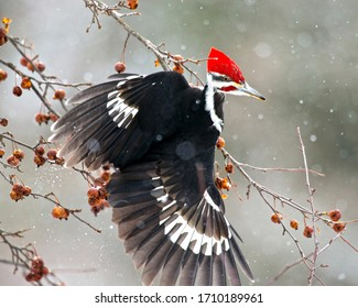 Pileated Woodpecker perched on tree  This insectivorous bird is an inhabitant of deciduous forests in eastern North America, the Great Lakes, the boreal forests of Canada,