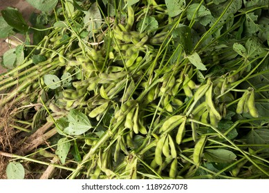 Piled up harvested whole green soybeans plants from diagonally above