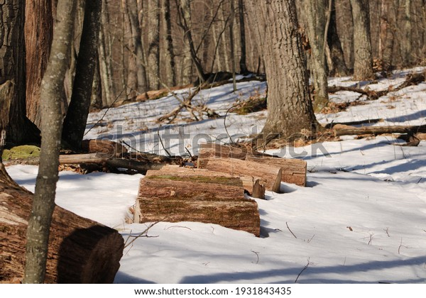 Piles of freshly cut wood and lumbar are stacked in the snow in the woods of upstate, NY.  You can see fallen trees in the background and green, moldy or moss growing on the outside of the cut logs.