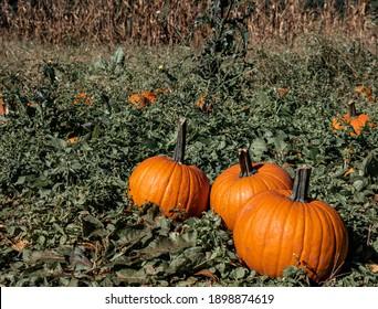 Piles of Pumpkins in a field