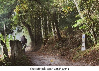 Pilgrim with a big backpack going through the forest on Camino de Santiago, Camino Norte Spain. Old stone fence and symbol of the Camino de Santiago on stone pillar.
