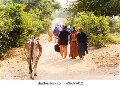 Pilgrim  and cow Govardhan parikrama.India, Govardhan, November 2016