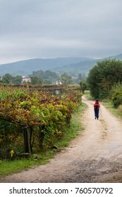 A pilgrim on the portuguese Way of St James to Compostela walks on a winding path crossing a vineyard field, near Ponte de Lima, Portugal