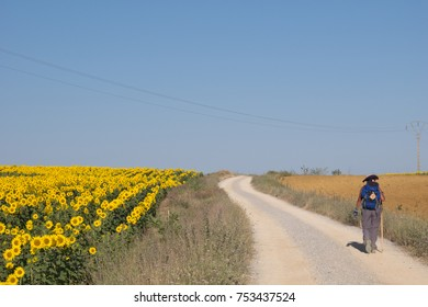 Pilgrim walking to Compostela on the french Way of St James (Camino de Santiago), crossing a sunflower field in Palencia