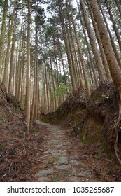 Pilgrimage Route, Kumano Kodo, in Japan through forest with large trees