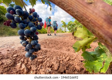 Pilgrims with Hiking Gear Walking past Venyeards of La Rioja along the Way of St James Pilgrimage Trail Camino de Santiago