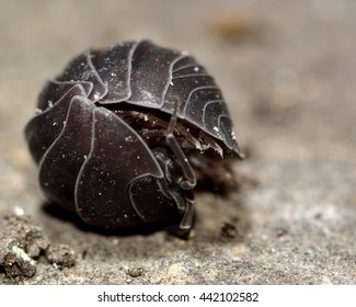 Pill woodlouse (Armadillidium vulgare) rolled up. Terrestrial crustacean in a defensive ball, in the familiy Armadillidiidae