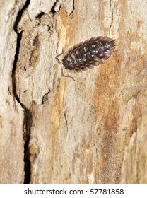 A pillbug perched on a tree trunk.