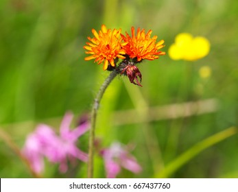 Pilosella aurantiaca known as fox-and-cubs, orange hawkweed, tawny hawkweed, devil's paintbrush, grim-the-collier
