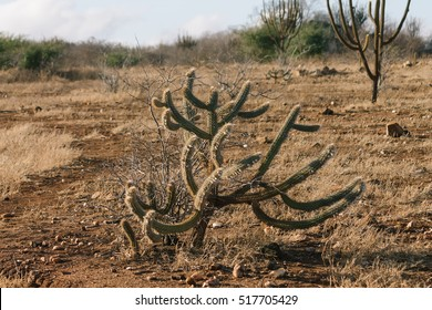 """Pilosocereus polygonus known as """"xique xique"""" is a common cactus in the Caatinga biome in Brazil"""
