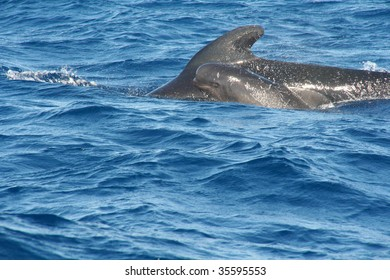 Pilot Whale with baby