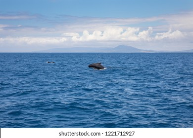 pilot whale, blackfish or cetaceans in the family Globicephala, swimming and jumping in blue water of Atlantic Ocean, in Strait of Gibraltar, in front of Spanish coastline