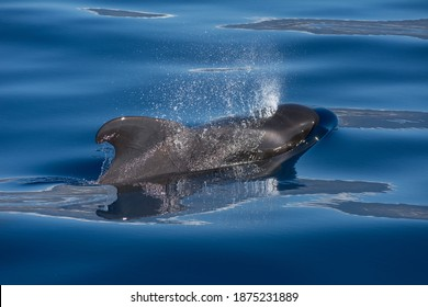 Pilot whale (Globicephala macrorhynchus). Picture taken during a whale watching trip in the south of Tenerife, Spain