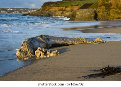 A pilot whale had recently washed up on the shores of Spit beach and is now in the advanced stages of decay