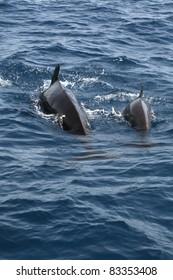 Pilot whales at the coast of Cadiz, Spain. Globicephala melas