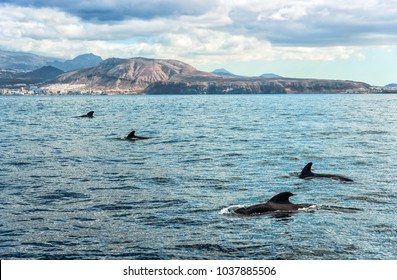 Pilot whales on Tenerife