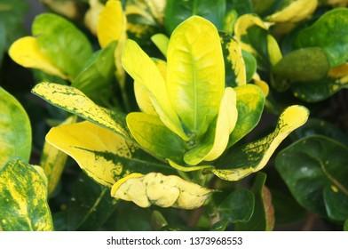 Pimenta racemosa or bay rum tree plant soft focus