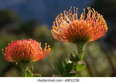 Pin Cushion South African Protea