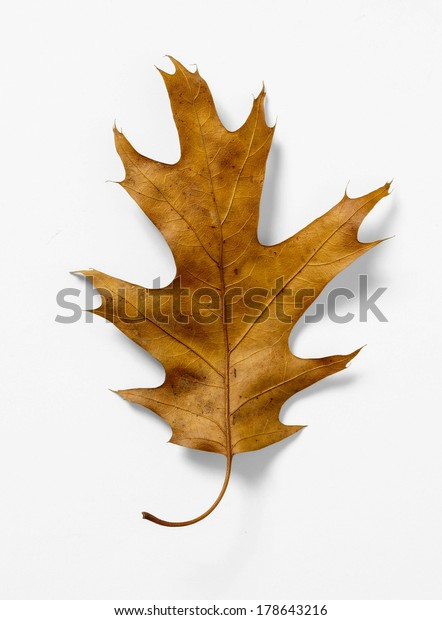 Pin Oak Leaf Isolated On White Nature Stock Image 178643216