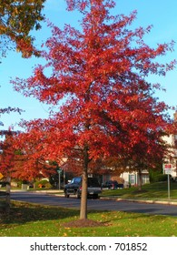 PIN OAK TREE WITH RED FALL FOLIAGE