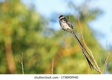 pin tailed whydah in Hluhluwe game reserve in South Africa