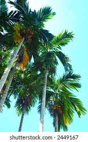 The Pinang Palm or the Betel Palm (Areca catechu). Betel nut, also known as Pinang or Areca nut, is the seed of the Pinang Palm. Chewing betel nuts is cultural activity in many Asian countries.