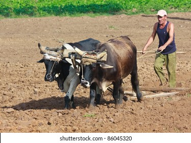 PINAR DEL RIO,CUBA-OCTOBER 1:Farmer plowing his field October 1,2011 in Pinar del Rio.In the last three years more than 2.5 million acres have been turned over to 143,000 new private farmers