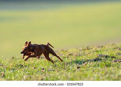 Pincher running in the field