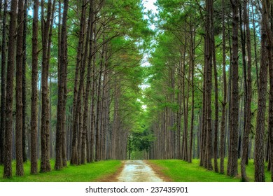 Pine Agroforestry. Boa Keaw Silvicultural Research Station (Suan Son Boa Keaw). Chiang Mai, Thailand