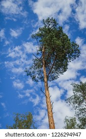 Pine alone on the edge of the forest against the sky