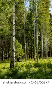 A pine and aspen forest with lush green meadow grass near Sisters, Oregon
