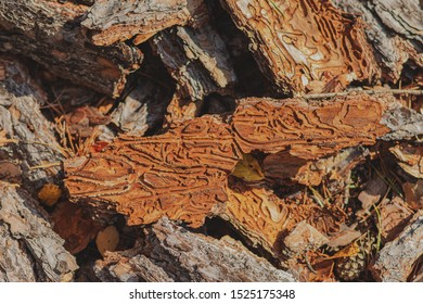 Pine bark and bark beetles. Pine tree damaged by bark beetles. The forest in the sun.