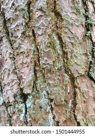 Pine bark texture close up. Natural background