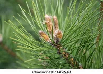 Pine blossom. Future cones.