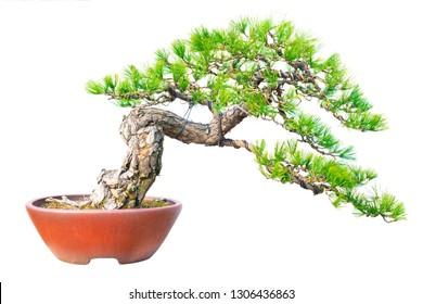 Pine Bonsai Isolated on White Background