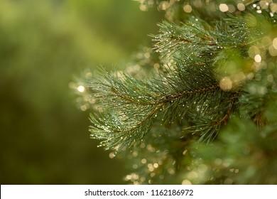 Pine branch after rain