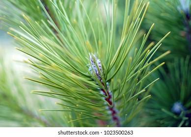 Pine Branch Close Up