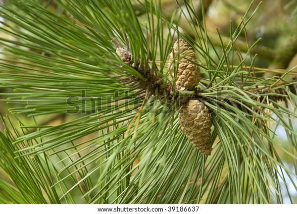 pine-branch-cones-close-600w-39186637.jp