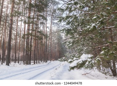 Pine branch with cones on the background of snow-covered forest in winter