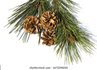 Pine branch with cones on a white background